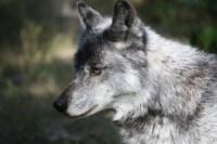 1275533_wolf