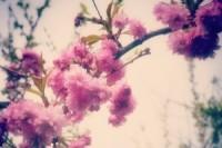blossom-1434386-m