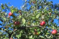 Stepan Neuwirth_Cas zralych jablek