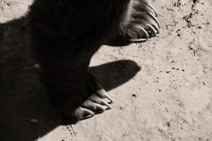 Grizzly na dosah tlapy...